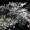 Mのディナー 桜の目の前の特等席でこの時期限定のお花見ディナーをいただきました! 中央区高津 「グローブカフェ」